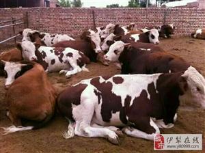 出售自家养的肉牛犊