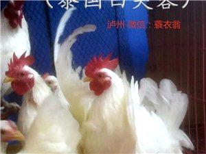 观赏鸡−−泰国矮脚鸡