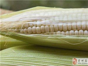 绿色无公害粘玉米批发出售