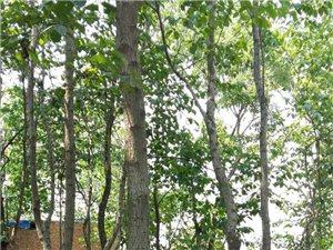出售:杜仲樹,可當觀賞樹,可當藥用。