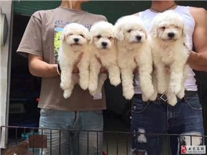 出售各種寵物狗狗