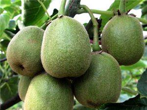 2017年黑山谷猕猴桃预售开始了