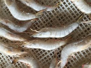 1-2万只海捕虾清库出售   要量大的你可以定价