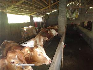 招租或轉讓養牛養殖場