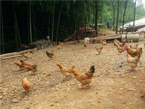 出售土雞蛋、散養雞