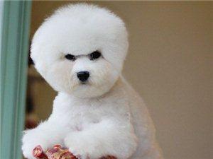 比熊宠物店健康的狗狗哪里有签协议包养活