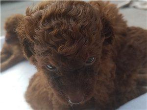 2��月的泰迪狗狗出售