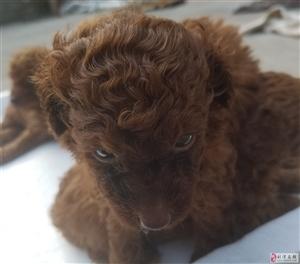 2个月的泰迪狗狗出售
