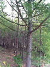 低价出售20年树龄落叶松