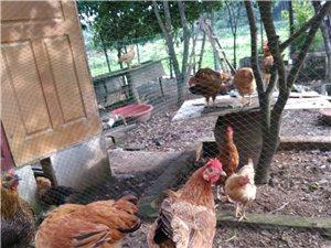&出售武漢江夏農村散養8個月土雞蛋免費送貨上門&