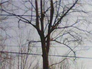 自己家种的三十多年杜仲树想要处理