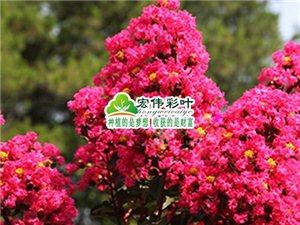 江西宏偉彩葉出售美國紅葉紫薇苗天鵝絨紫薇 美國紫薇
