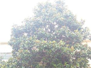 销售直径40公分玉兰大树两棵