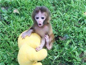 金屏袖珍石猴繁殖基地