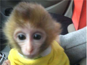 哪里有寵物猴子賣哪里有賣小猴子