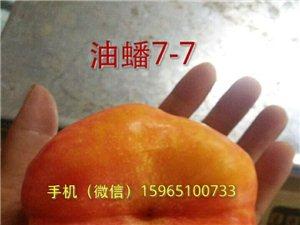 97秋甜桃苗永蓮蜜桃9號桃苗春雨血桃1號夏季排水