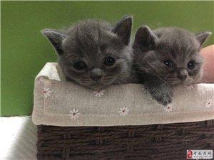 家養的英短藍貓!