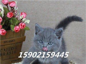 貓舍繁育英短藍貓 英國短毛藍貓 純種活體幼貓