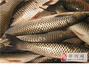 鄭州大型魚場活魚直銷,批發各種淡水魚活魚!