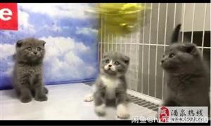 出售英短蓝猫和渐层、美短虎斑,金吉拉