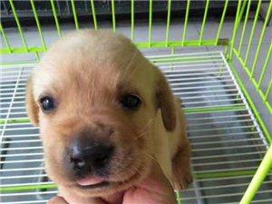 1个月拉布拉多犬宝宝个人转让!