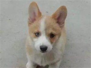 厂家直威尔士柯基犬 双色三色均有 健康纯种 可签协