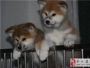 高端养殖繁殖-直销·秋田犬、沉着温顺,感觉锐敏