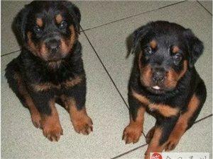 高端养殖繁殖-直销 优秀的护卫犬、神经稳定