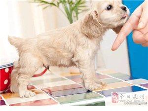 高端养殖繁殖-直销 ·可卡犬又称猎鹬犬