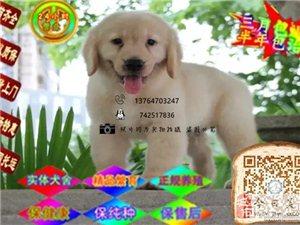 正规狗场出售健康纯种大头金毛幼犬多只可选 可签质保