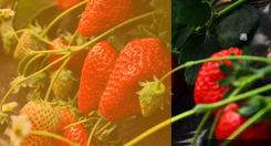 太空红颜草莓苗