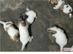 一窝刚满月的小狗狗,想养狗狗的可与我联系