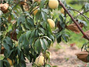 黃桃出售、可進園采摘