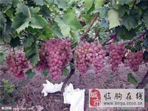 供應山東濰坊臨朐冶源葡萄上市供應