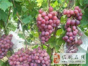 山東濰坊臨朐葡萄辛寨冶源萬畝葡萄