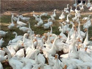 常年出售:散養雞鴨鵝
