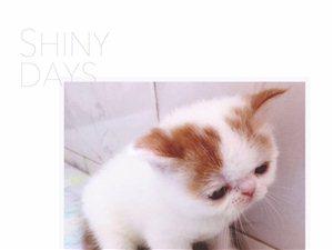 大悟貴族萌寵:剛滿月純種加菲貓尋找有愛主子