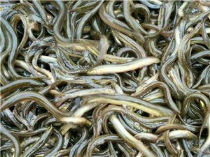 煙臺綠島食品公司是全國最大的泥鰍生產加工出口基地