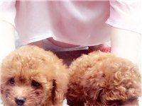 低价800元/只出售家养咖啡色泰迪宠物狗