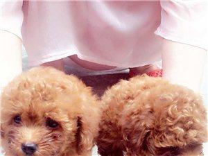 低價800元/只出售家養咖啡色泰迪寵物狗