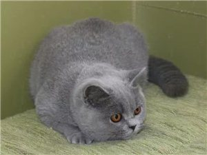 澳门金沙城中心出售出售英短蓝猫苏格兰折耳猫蓝白乳白双血统幼猫