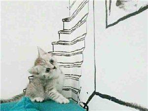 可爱的英短渐层猫找粑粑麻麻