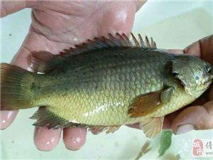 供应优质攀鲈(过山鲫、甘毛、双鳗鱼)鱼苗及商品鱼