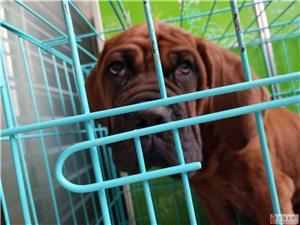 實在是沒有時間去養他,我們家的犬是我從哈爾濱買來的