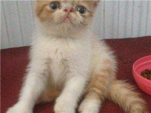 蓝猫加菲出售