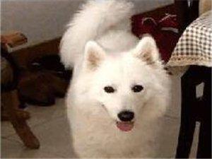 大悟寻找丢失的爱犬萨摩耶