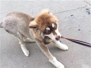 大悟国税局附近走失一条红毛阿拉斯加犬