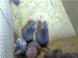 海南儋州 中华竹狸!竹鼠,幼苗出售。价格优惠!!!