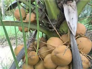 现基地矮椰子苗50万株批发零售,高产、早结、矮化!