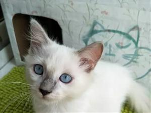 布偶猫一只 公猫